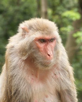 Macaco Rhesus / Einar Fredriksen - https://www.flickr.com/photos/wild_speedy/4185543087/