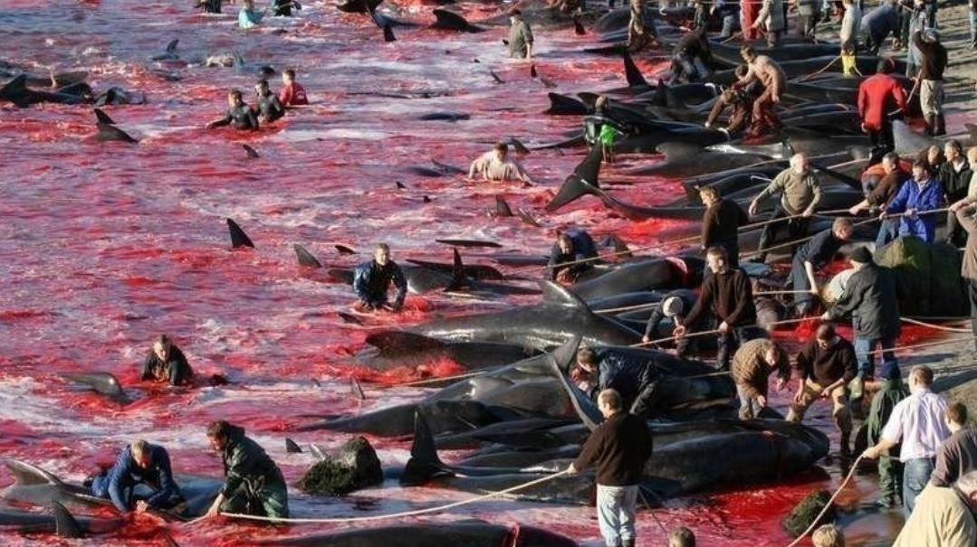 "250 dead whales and dolphins in Faroe Islands cause ""red tide"""